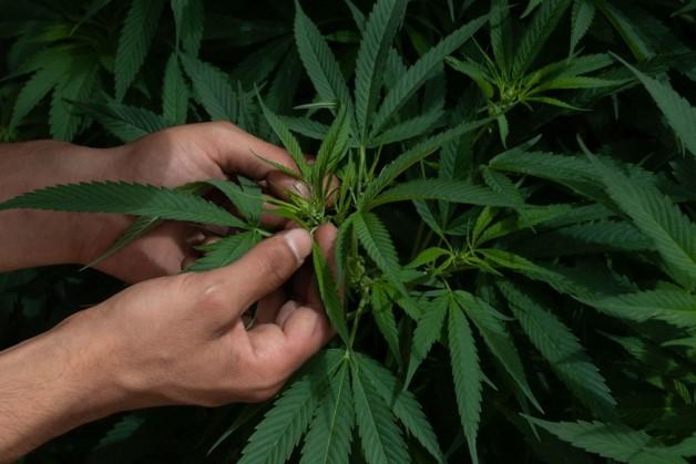 foro jurídico Regulación de la Marihuana